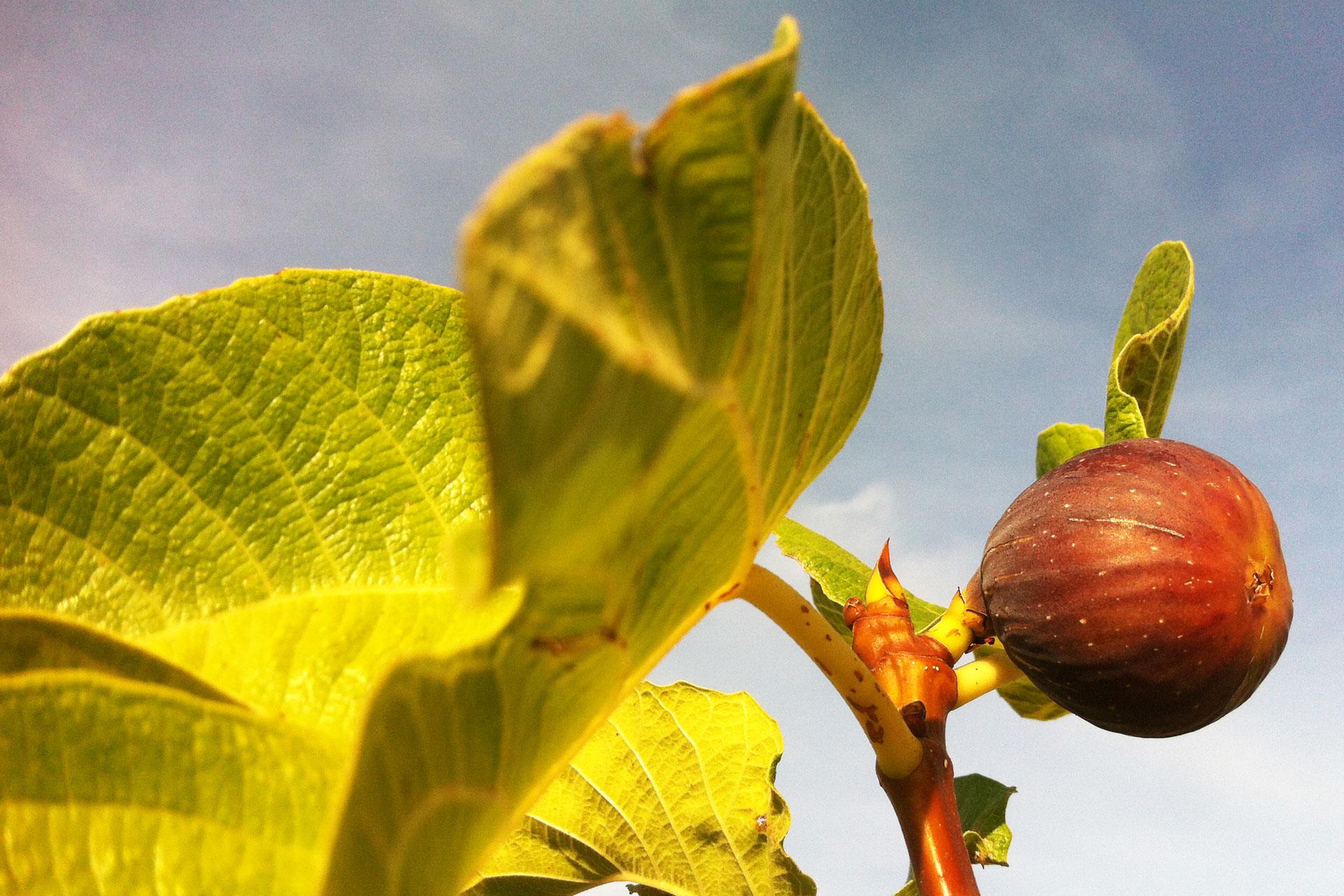 Collezione Ficus carica - Rosso striato - I giardini di Pomona - Cisternino