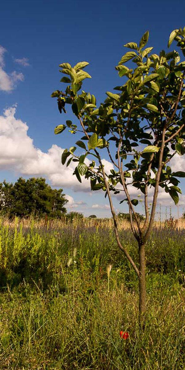 Kaki Tree Project - I giardini di Pomona - Cisternino