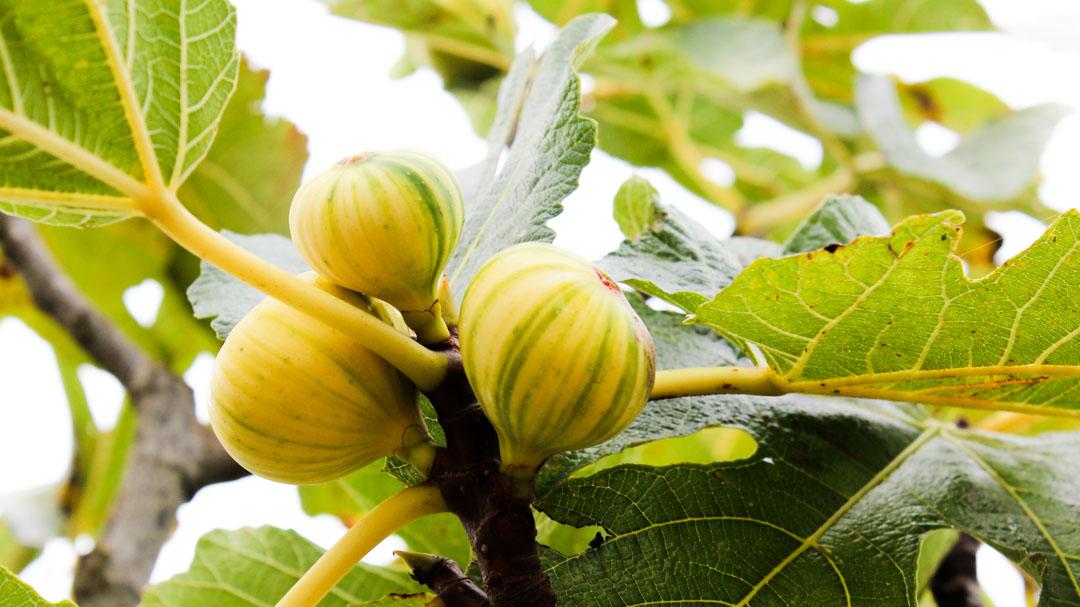 Ficus carica, Rigata del Salento