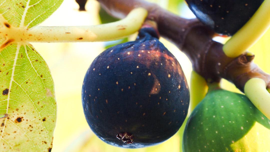 Ficus carica, Brogiotto nero