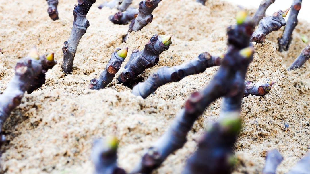 Ficus carica, marze