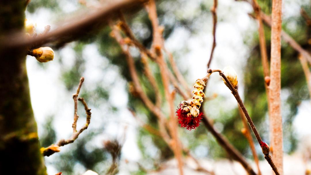 Nocciolo in fiore