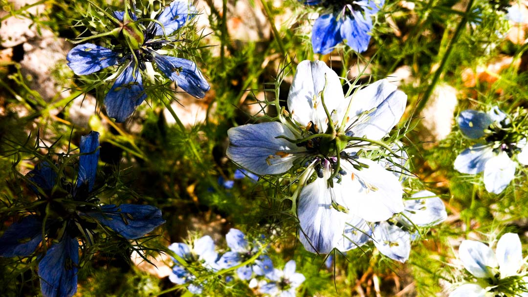 Flora spontanea, Nigella damascena