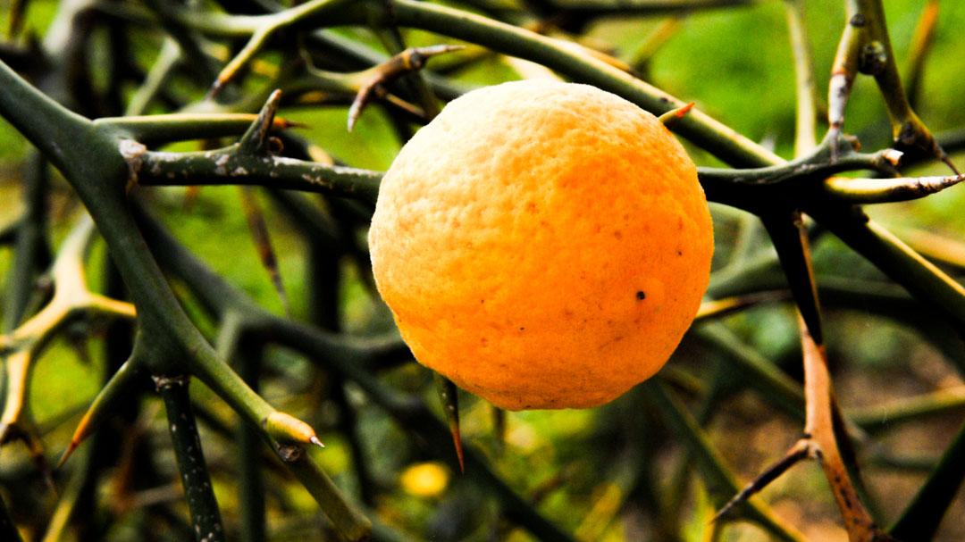 Poncirus trifoliata, frutto