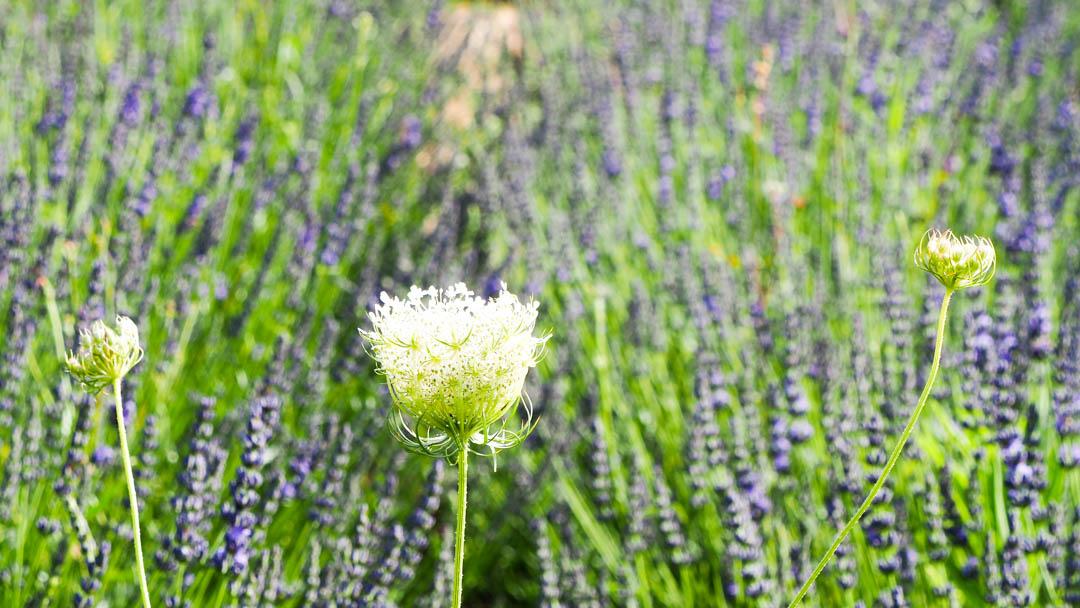 Flora spontanea, Ombrellifera di Puglia